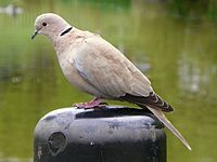 Collared Dove (Streptopelia decaocto), Fairlands Valley Park, Stevenage, 15 April 2011