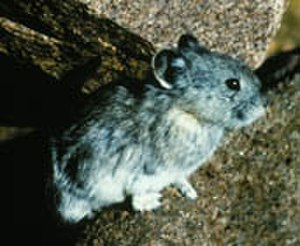 Collared pika - The collared pika within the talus sites where it resides and stores up food caches.