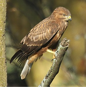 Common buzzard - Image: Common (Steppe) Buzzard