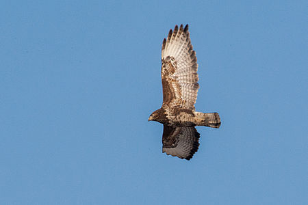 Common Buzzard(js) Lodz(Poland)01.jpg