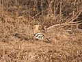Common Hoopoe in Birendranagar.jpg