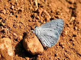 Common hedge blue.JPG