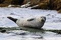 Common seal (Phoca vitulina) 3.jpg