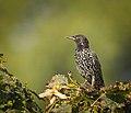 Common starling (48715626007).jpg