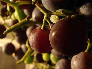 Concord grape - Image: Concord Grapes 1