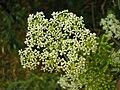 Conium maculatum inflorescence (13).jpg