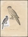 Conurus cruentatus - 1700-1880 - Print - Iconographia Zoologica - Special Collections University of Amsterdam - UBA01 IZ18500177.tif