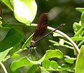 Copper Demoiselle Calopteryx haemorrhoidalis - Flickr - gailhampshire.jpg