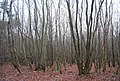 Coppiced woods, Fishpond Woods - geograph.org.uk - 1132916.jpg