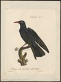Coracias graculus - 1825-1834 - Print - Iconographia Zoologica - Special Collections University of Amsterdam - UBA01 IZ15700099.tif