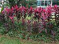Cordyline fruiticosa 'Firebrand' 2.jpg