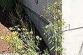 Coreopsis tripteris 7zz.jpg