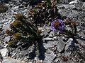 Coris monspeliensis-Calblanque.jpg