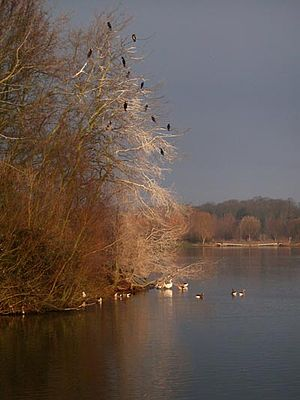 Nene Park, Peterborough - Cormorant trees, island on Overton Lake at Ferry Meadows Country Park.
