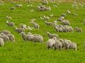 Corriedale lambs in Tierra del Fuego.JPG