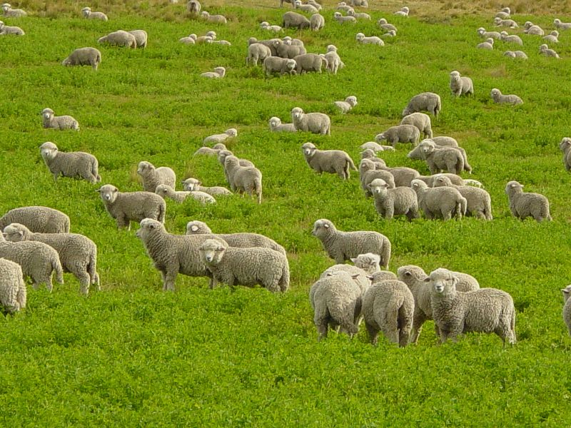 File:Corriedale lambs in Tierra del Fuego.JPG