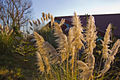 Cortaderia selloana The sunlight flows (mendhak) 001.jpg