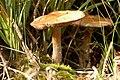 Cortinarius.subbalaustinus.-.lindsey.jpg