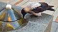 Corvus cornix in Northern Avenue, Yerevan 03.jpg