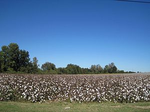 Tipton County, Tennessee - Cotton field in rural Tipton County, 2013