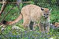 Cougar Biting a Plant (17235462864).jpg