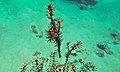 Couple of Harlequin Ghost Pipefishes (Solenostomus paradoxus) (8491882233).jpg