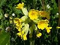 Cowslip Primula veris.jpg