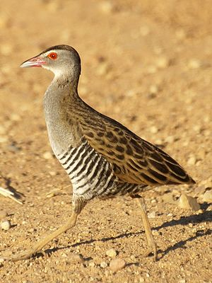 African crake - On the Zaagkuildrift Road, South Africa