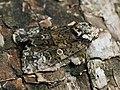 Craniophora ligustri - The Coronet - Совка бирючинная (28952131647).jpg