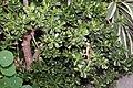 Crassula argentea 13zz.jpg