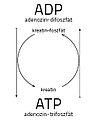 CreaArg ADP ATP tabla.jpg