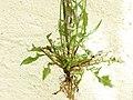 Crepis setosa root (02).jpg