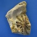 Crinoide Naturhistorisches Museum Basel 27102013 1.jpg