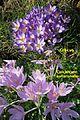 Crocus IMG 4573-Colchicum-autumnale-IMG 8654.jpg