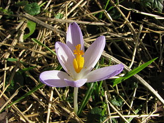Crocus - Crocus tommasinianus (Section Crocus, Series Verni)