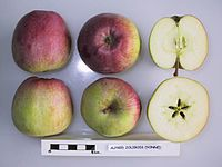 Cross section of Alfred Jolibois, National Fruit Collection (acc. 1950-152).jpg