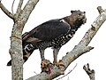 Crowned Hawk-Eagle (Stephanoaetus coronatus) with prey ... (31850226860).jpg