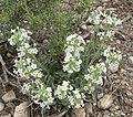 Cryptantha flavoculata 5.jpg