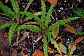 Cryptanthus bahianus in Tropengewächshäuser des Botanischen Gartens.jpg