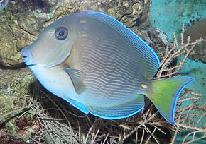 Description de l'image Ctenochaetus hawaiiensis - Hawaii-Borstenzahndoktorfisch.jpg.