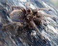 Cuban Tarantula.jpg