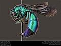 Cuckoo wasp (Chrysididae) (27888048556).jpg