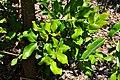 Cupaniopsis anacardioides Tuckeroo, Carrotwood კუპანიოპსისი (2).JPG