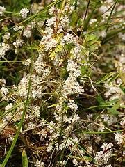 Cuscuta europaea (plants).jpg