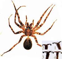 Cycloctenus female.jpg