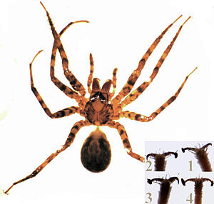Cycloctenus female.jpg