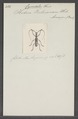 Cycnidolon - Print - Iconographia Zoologica - Special Collections University of Amsterdam - UBAINV0274 033 07 0004.tif