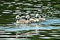 Cygnets - Stanborough Lakes (17743942996).jpg
