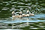 Cygnets - Stanborough Lakes (17743942996).jpg