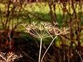 Dülmen, Börnste, Pflanze -- 2020 -- 3601.jpg